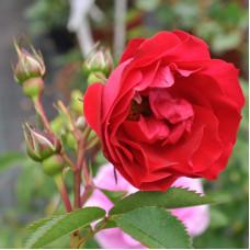 Роза Аделаида Худлес (канадская)