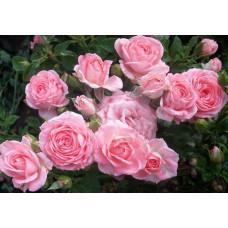 Роза Грация (спрей)