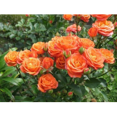 Роза Келли (спрей)