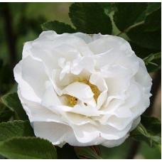 Роза Лак Маджеу (канадская)