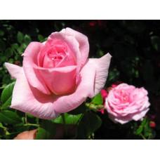 Роза Ламберт Клосс (канадская)