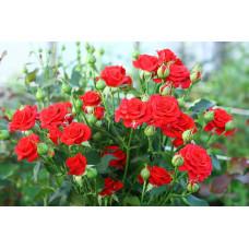 Роза Мирабель (спрей)