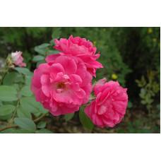 Роза Моден Сентенниал (канадская)