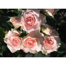 Роза Олеся (спрей)