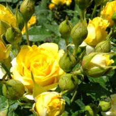 Роза Сан Сити (спрей)