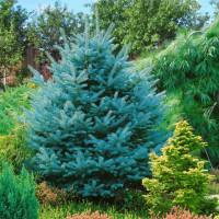 Ель голубая (сеянец до 25 см.) оптом (от 300 шт.)