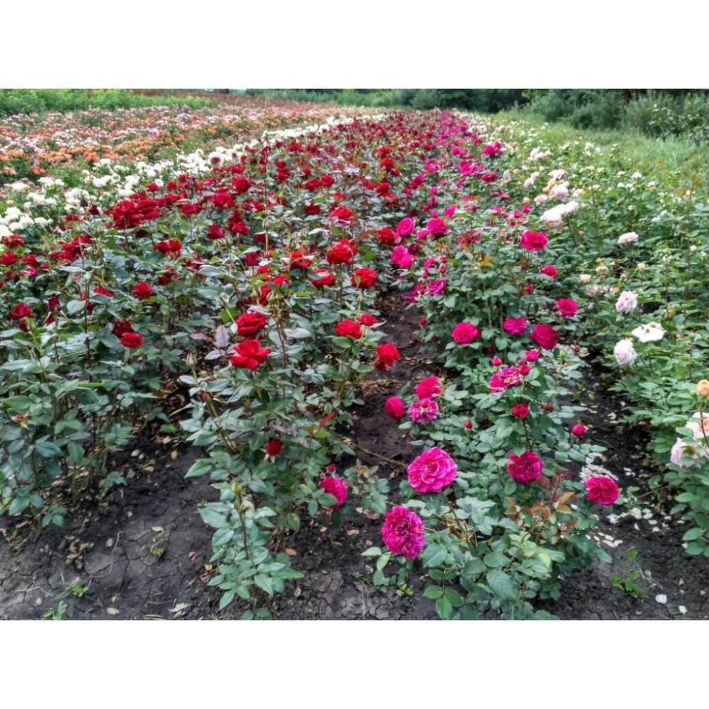 Розы оптом (от 500 шт.)
