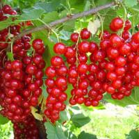 Смородина красная в ассортменте (от 200 шт.)