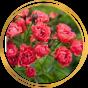 Полиантовые розы (10)