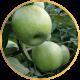 Поздние яблони