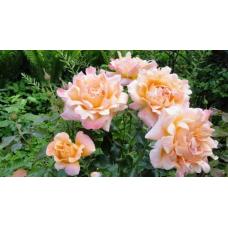 Роза Раффлс