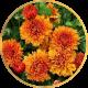 Хризантема Среднецветковая