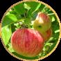 Ранние яблони