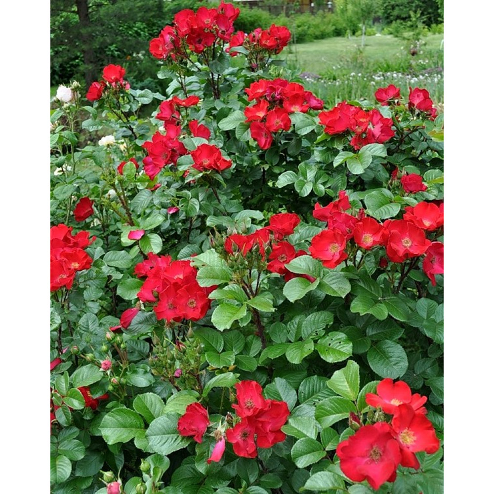Роза Робуста (парковая)