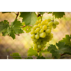 Виноград Лунный
