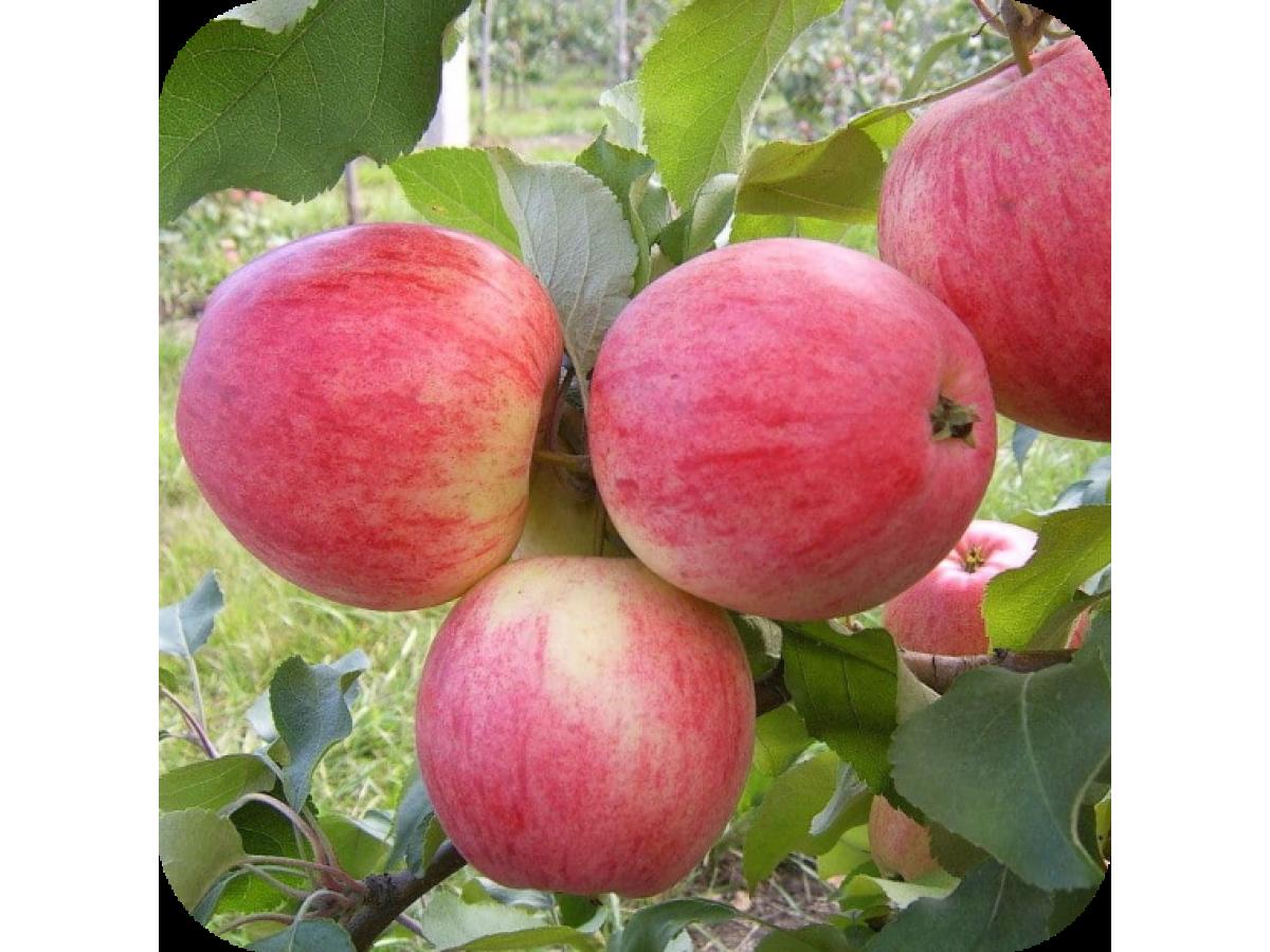 Яблоня (посадка и уход)