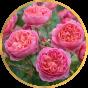 Английские розы (14)