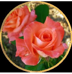 Распродажа роз!