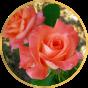 Чайно-гибридные розы (179)