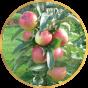 Колоновидные яблони (17)