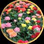 Мини розы (7)
