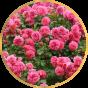 Парковые розы (12)