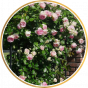 Плетистые  розы (32)