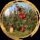 Плодово-ягодные деревья (саженцы)