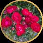 Почвопокровные розы (10)