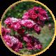 Полиантовые розы