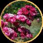 Полиантовые розы (6)