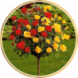 Штамбовые розы (18)