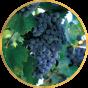 Виноград Средний (22)
