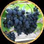 Виноград Поздний (7)