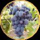 Виноград Ранний