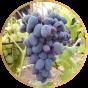 Виноград Ранний (66)