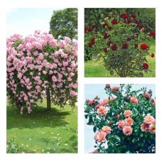 Комплект Р3-3 саженца (Штамбовые розы Априкола, Белла Вита, Блэк Баккара)