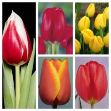 Комплект из 25 луковиц тюльпанов (Парад, Ред Пауер, Стронг Голд, Фулл Хаус, Эд Рем)