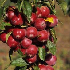 Яблоня колоновидная красноцветковая Манящий Аромат