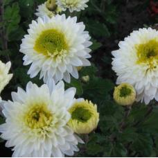 Хризантема Инга (среднецветковая)