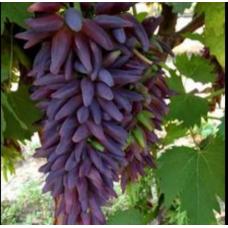 Виноград Ведьмины Пальцы