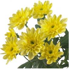 Хризантема Балтика (среднецветковая)