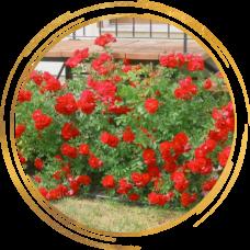 Роза канадская Аделаида Худлес