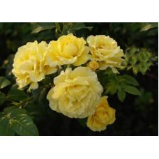 Роза плетистая Золотой Олимп