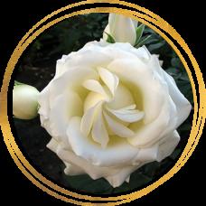 Роза Боинг (ШРАБ)