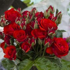 Роза Бордер Кинг