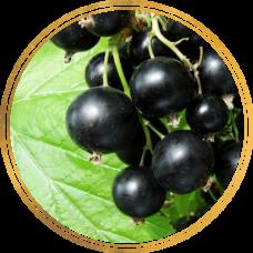 Смородина черная Ядрёная