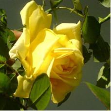 Роза плетистая Клаймбинг Голдмари