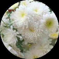 Хризантема Домино Уайт
