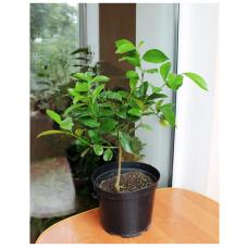 Мандарин. Мандариновое дерево